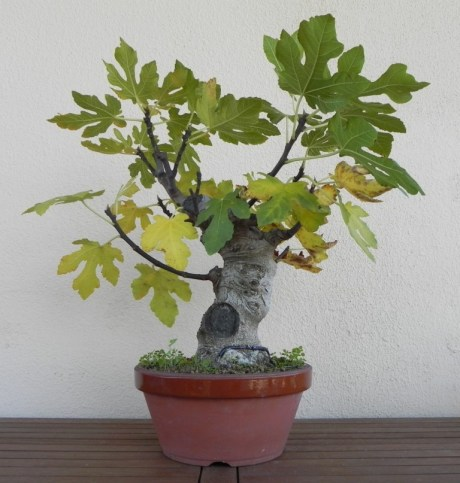 HIGUERA BONSAI